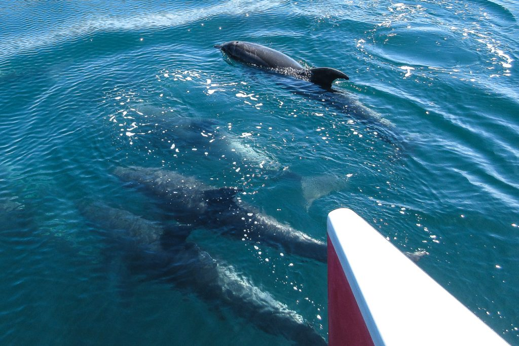 Bay of Islands Dolphins. New Zealand travel blog. swim with dolphins bay of islands
