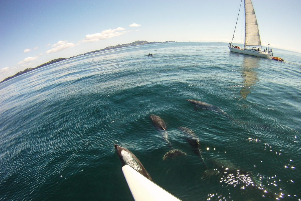 Sailing with Dolphins. swim with dolphins bay of islands