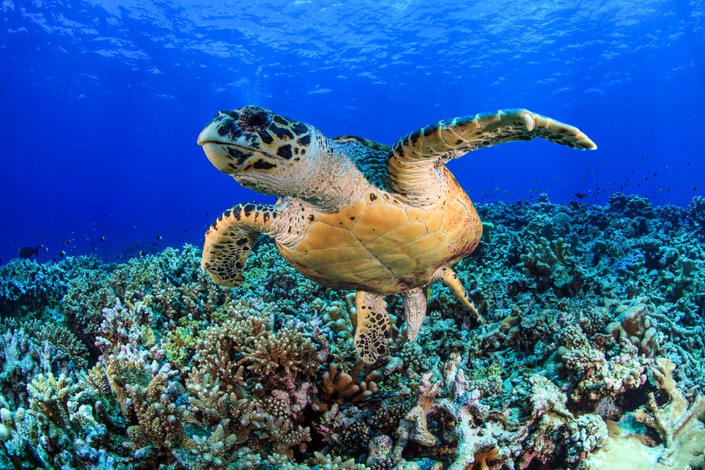 Snorkelling Maldives Resorts. Hawksbill sea turtle (Eretmochelys, imbricata) in the tropical coral reef