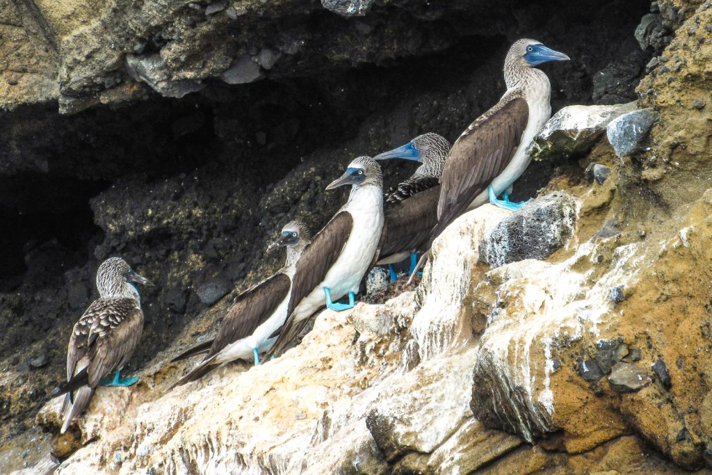 Blue footed boobies perched on a cliff top along isabela Island in the Galapagos Islands, close to Tagus Cove and Darwin Lake.