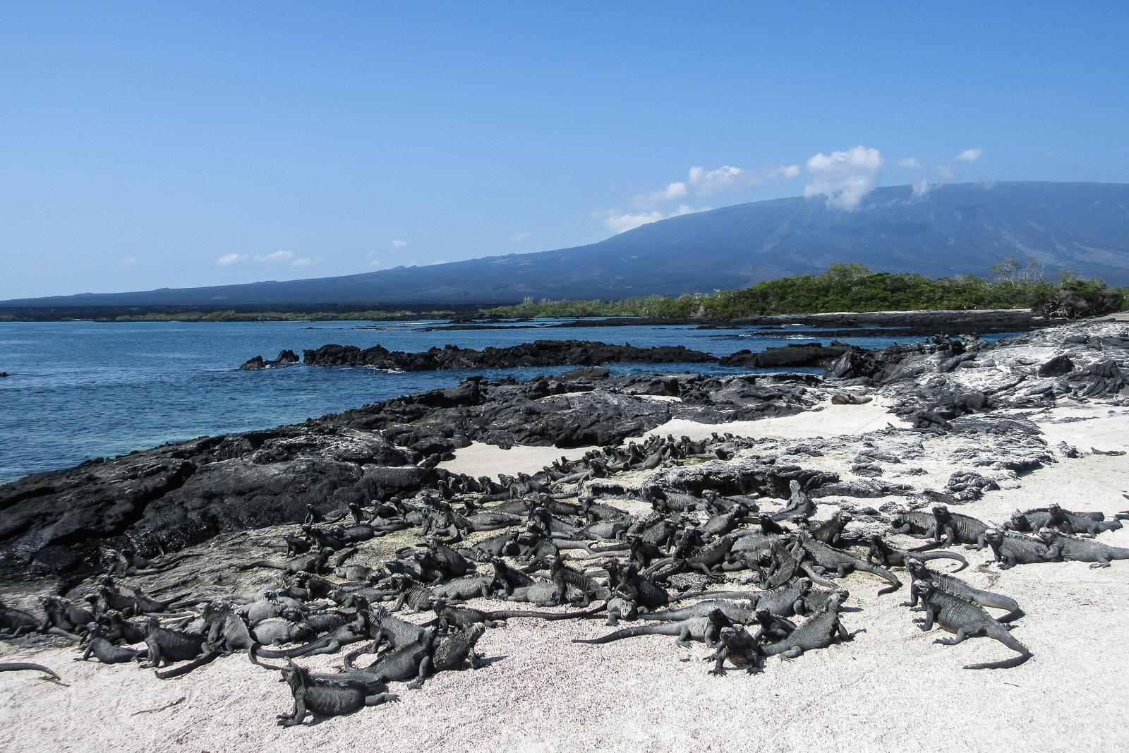 Marine Iguanas on the beach and lava coastline of Punta Espinosa on Fernandina Island Galapagos, from the La Cumbre Volcano pictured in the background