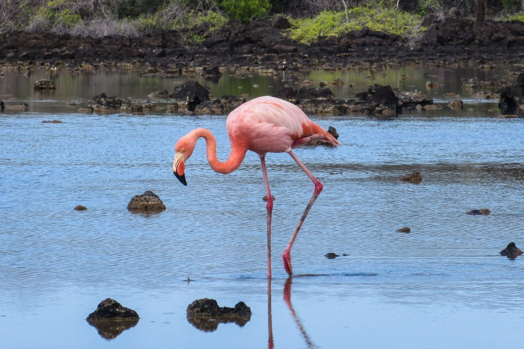 Flamingo walks across a lagoon near Dragon Hill (Cerro Dragon) on Santa Cruz Island in the Galapagos Islands