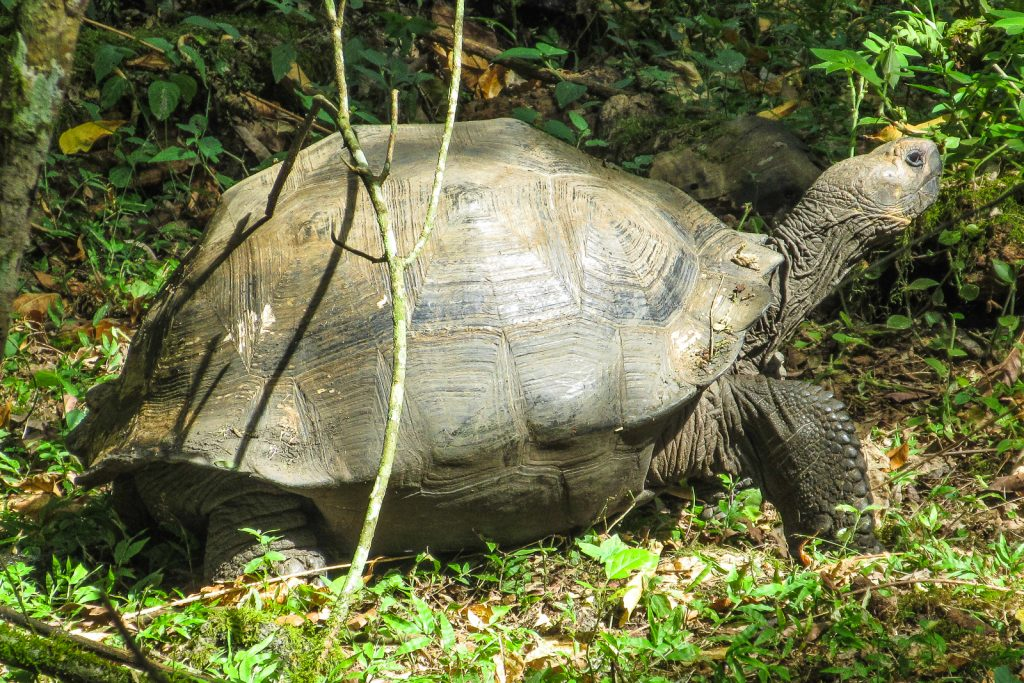 The Galapagos giant tortoise on Santa Cruz Island, in the Galapagos Islands.