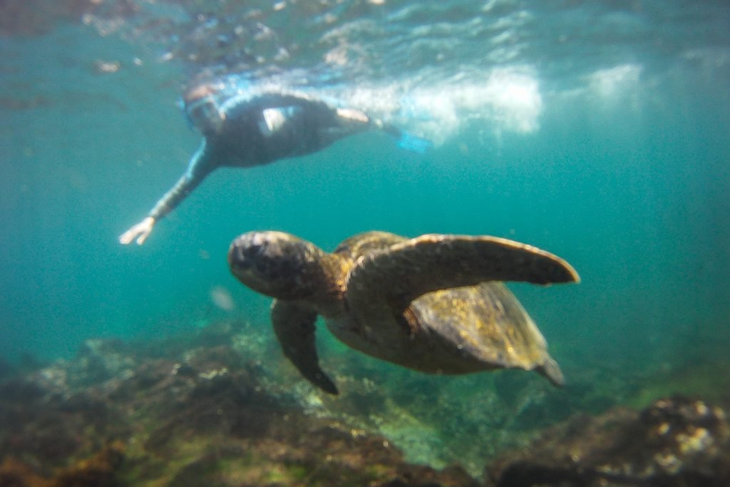 Snorkelling with a Galpagos Sea Turtle