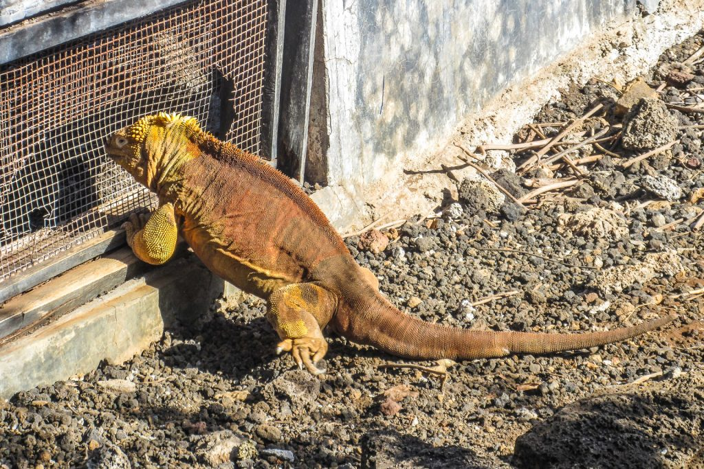 Land Iguana at the Charles Darwin Research Station on Santa Cruz Island in the Galapagos Islands