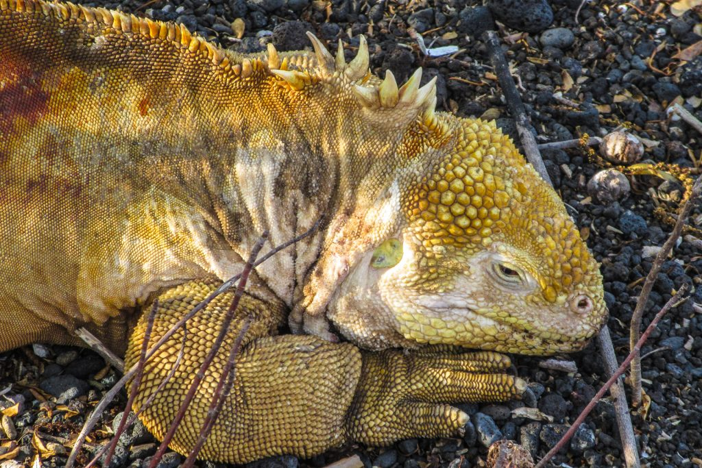 Land Iguana with yellow colour on Isabela Island in the Galapagos Islands Ecuador