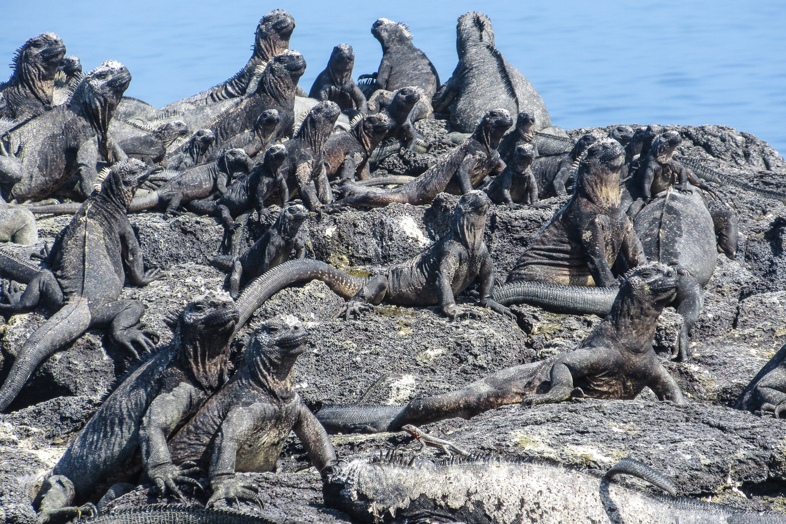Marine Iguanas climb along the coastline of Fernandina Island Galapagos islands Ecuador.