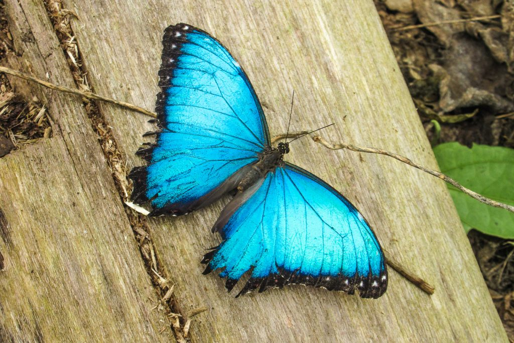A butterfly with blue wings in a butterfly farm Mindo CLoud Forest in MIndo Ecuador
