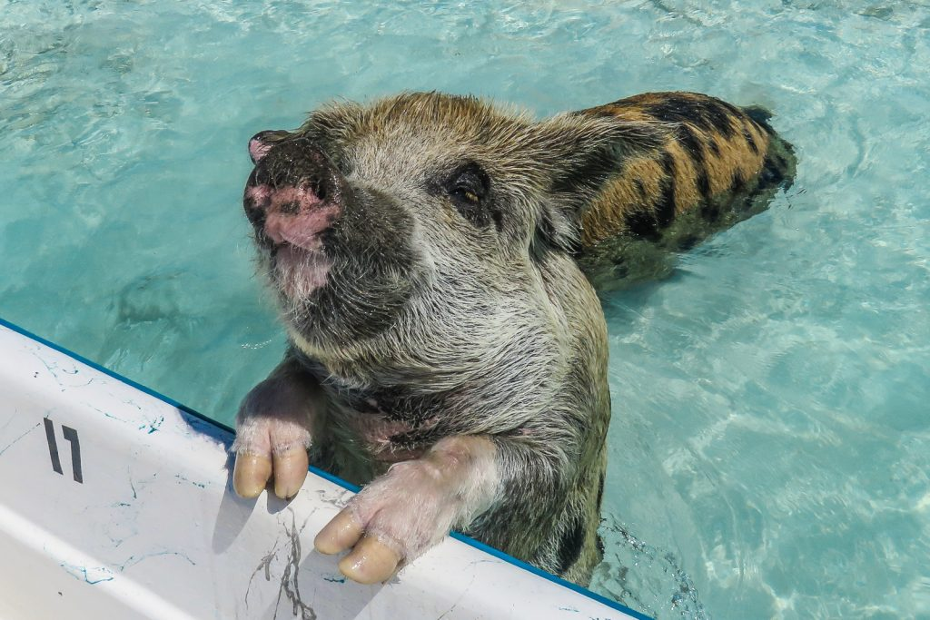 Exuma Pigs, also known as the Staniel Cay pigs are Swimming Pigs found in the Bahamas. You can take a boat to visit them from Staniel Cay Yacht club.