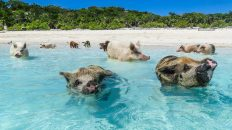 The Exuma Pigs are swimming pigs found in Staniel Cay in the Exumas on the out island bahamas. The staniel cay pigs will swim out to your boat to visit you. You can also go swimming with these swimming pigs.