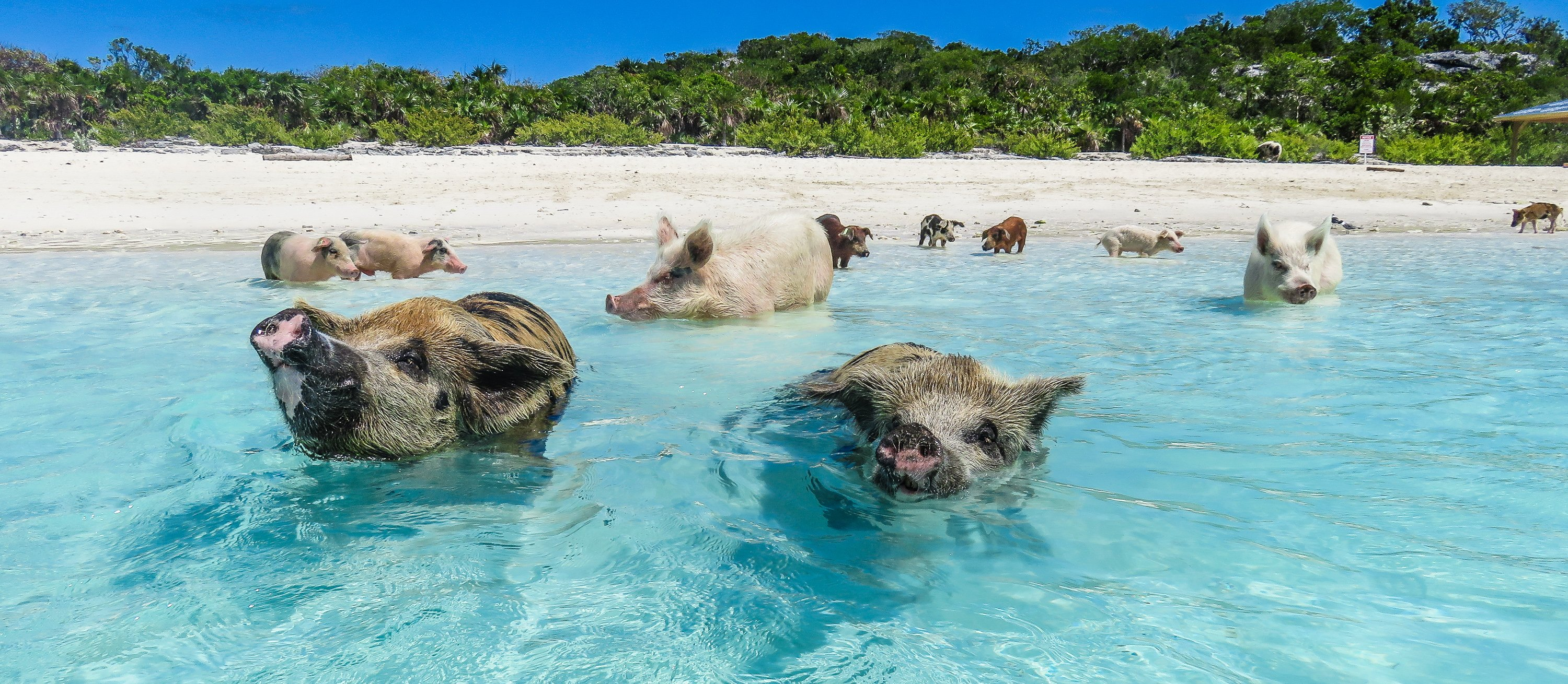 Swimming With The Exuma Pigs An Exotic Adventure At