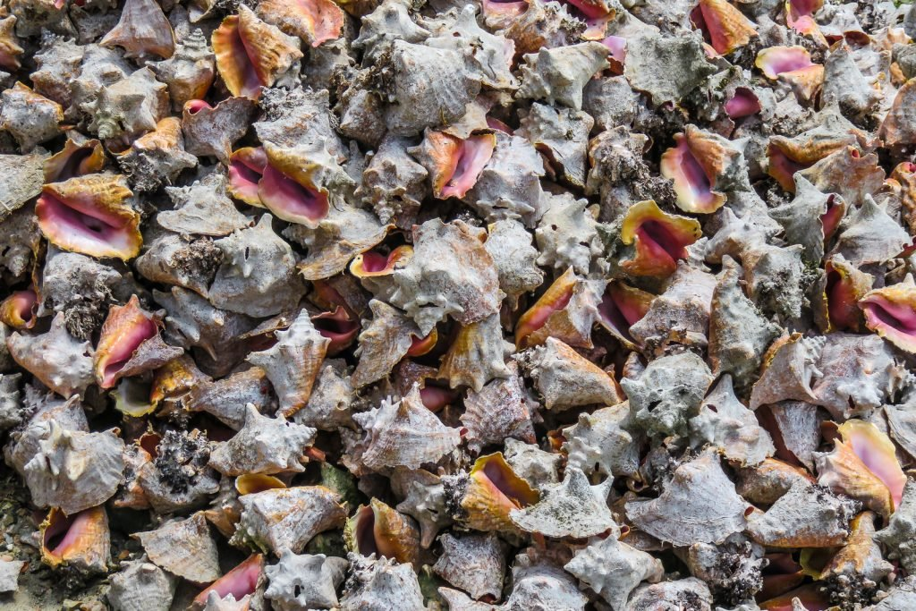 Conch shells discard next to the restaurants in Dunmore Town Harbour Island Bahamas serving traditional bahamian food dishes including conch, conch salad, conch fritters