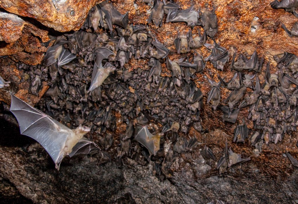 Cat Island Bahamas Bat Cave, on a guided tour of cat island experience. Stock photo of Fruit Bats