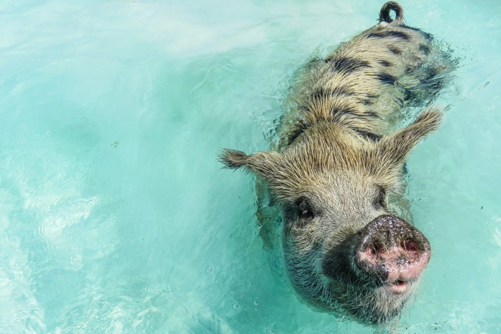 The Exuma Swimming pigs can be visited in the Bahamas. The Pig Island and Pig BEach are close to Staniel Cay Bahamas. FLy from Florida to Bahamas with Bahamas Air Tours for Bahamas Flights and the Exuma Pigs tour.