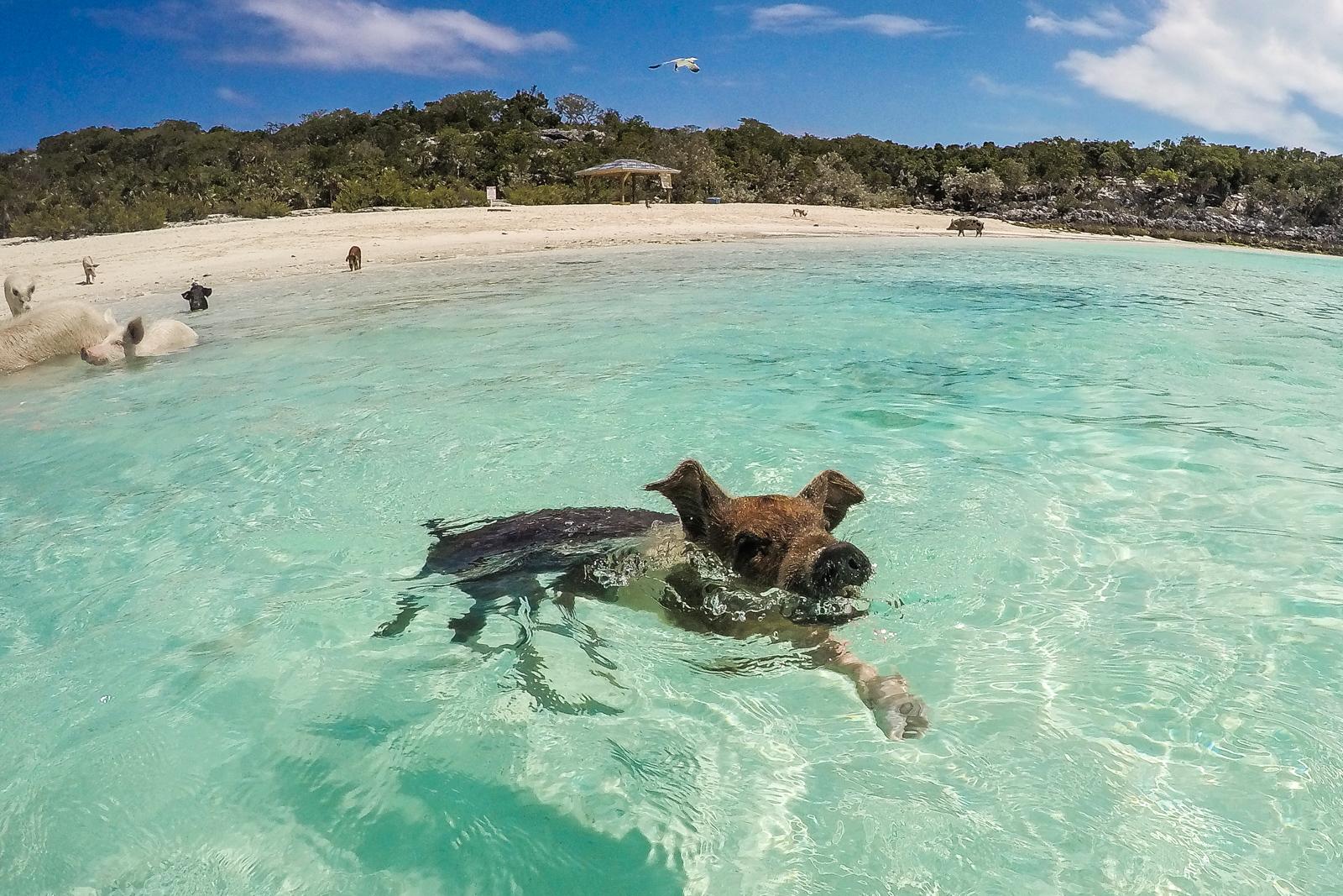 Exuma Bahamas Pigs Tours