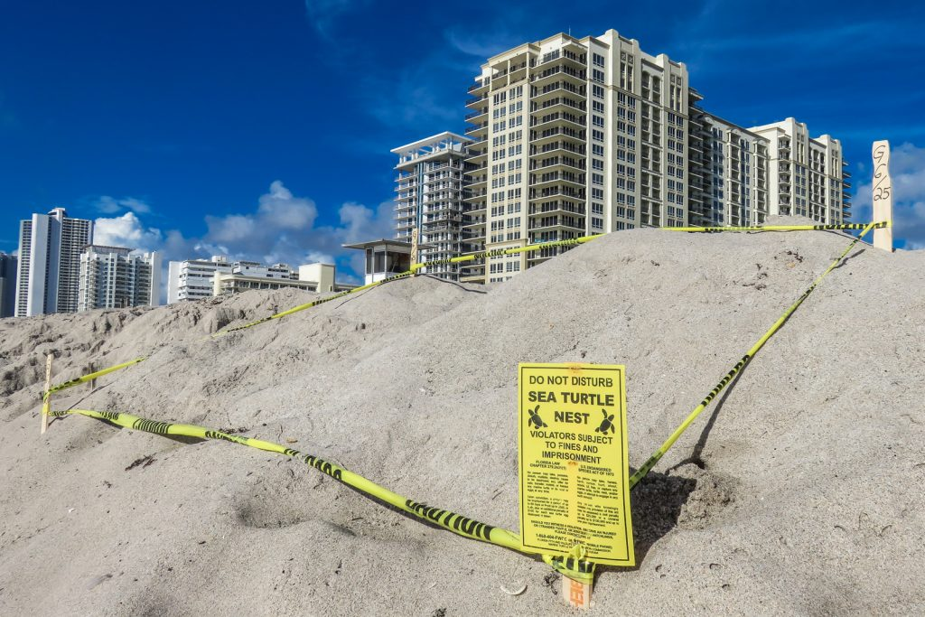 Turtle eggs are laid along the beach at the Marriott Singer ISland resort. Visit the Loggerhead Turtles at the Loggerhead Marine Life Center in West Palm Beach