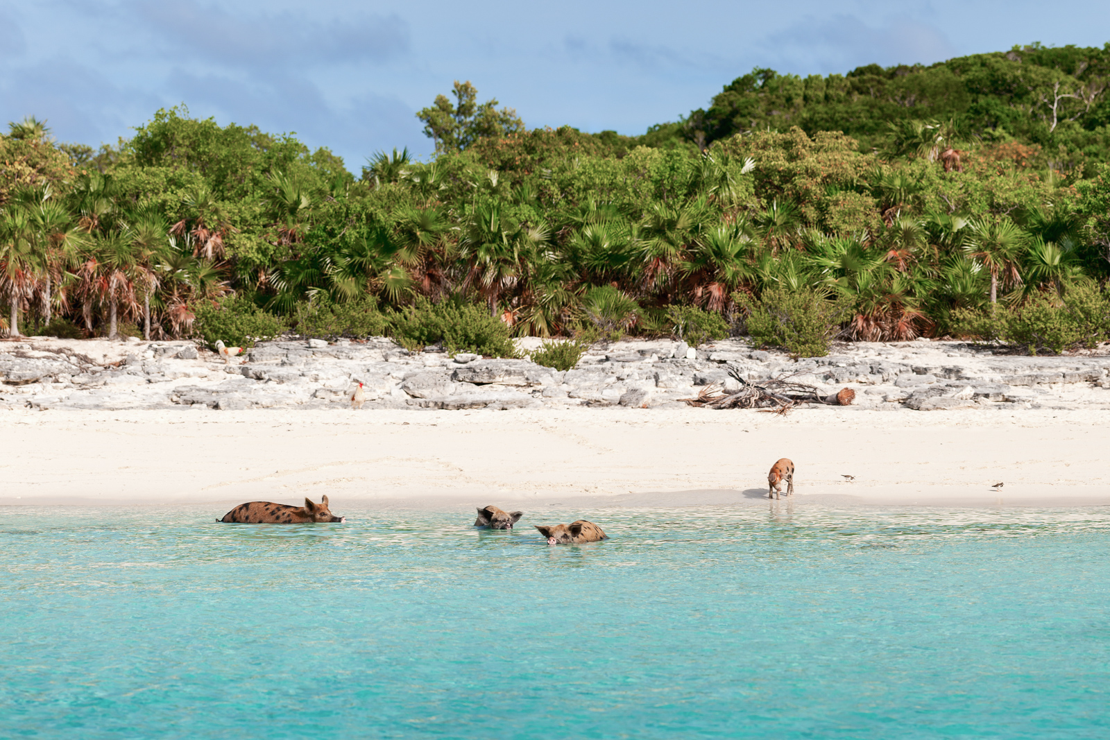 PIg Beach Bahamas in the Exumas. Visit Pig Island with a Bahamas Day Trip from Bahamas Air Tours