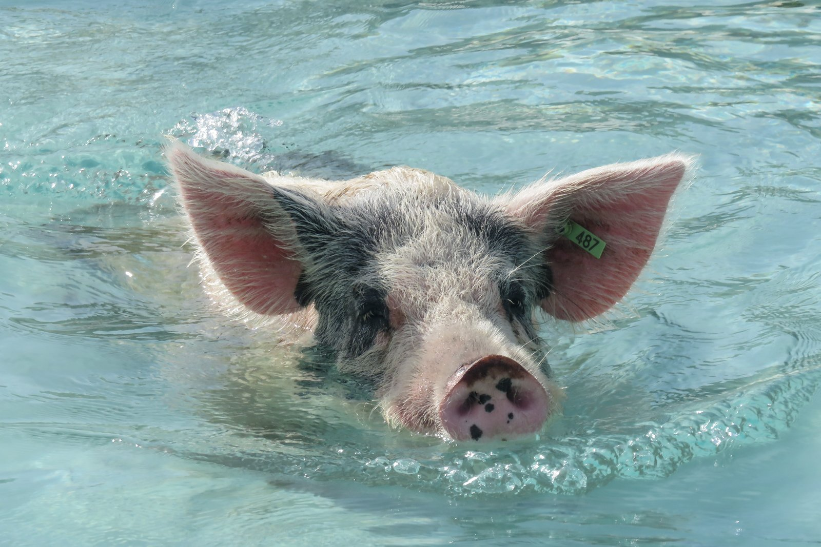 Things to do in Miami Swimming Pigs at Staniel Cay on a Miami to Bahamas Day Trip