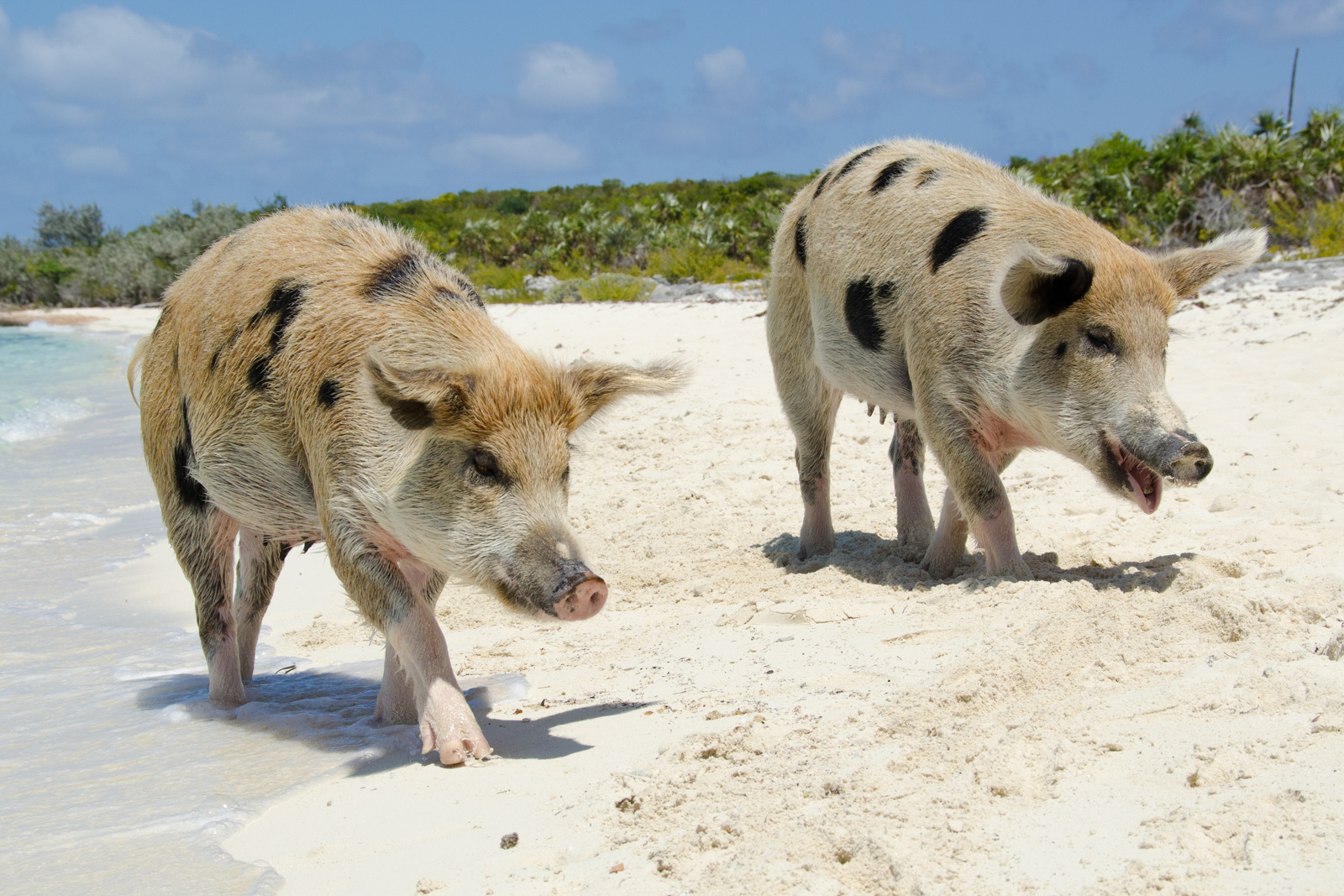 Wild pigs on Big Major's Cay in Pig Beach Bahamas. One of the best Florida Beaches and best places to go in Florida. The beach has some of the best resorts in Florida on the best beaches in Florida. This photo a part of top 10 Beaches in Florida brought to you by Flying and Travel which presents all the nice beaches in Florida and best Florida vacation spots.