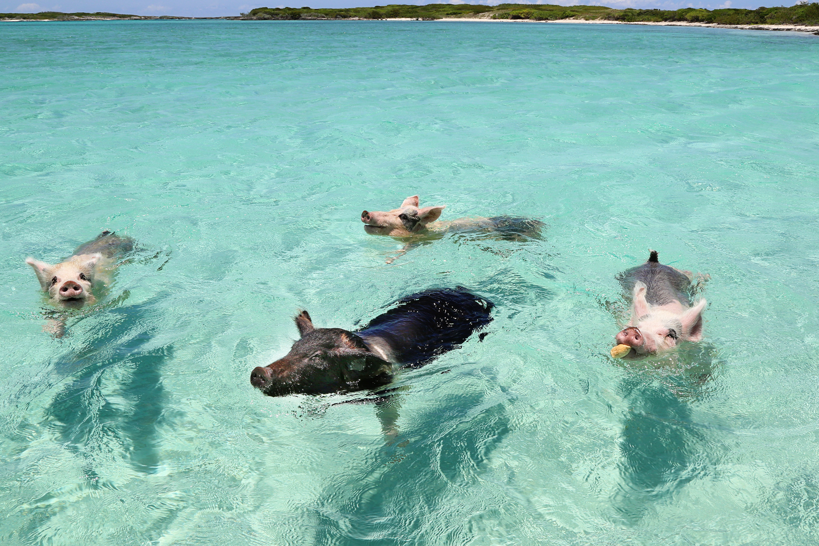 One of the unknown Miami attractions is a day trip Bahamas to Pig Beach! Your guide for all the top Miami attractions and best things to do in Miami. There are Plenty of tourist attractions in Miami Florida. This Guide presented by Flying and Travel.