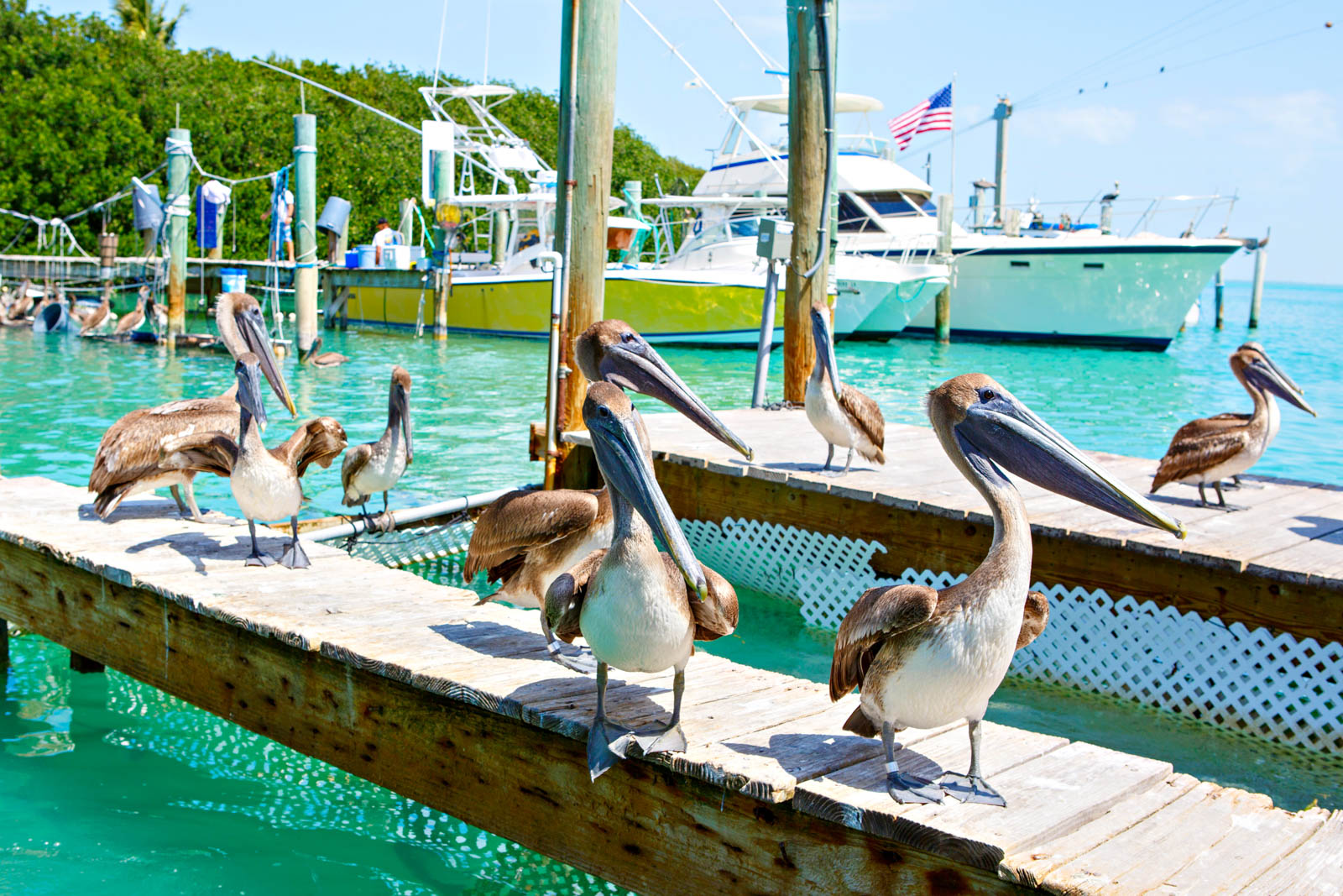 Big brown pelicans in port of Islamorada, Florida Keys. Waiting for fish at Robbie's Marina. The best day trips from Miami sometimes don't ever leave Florida.
