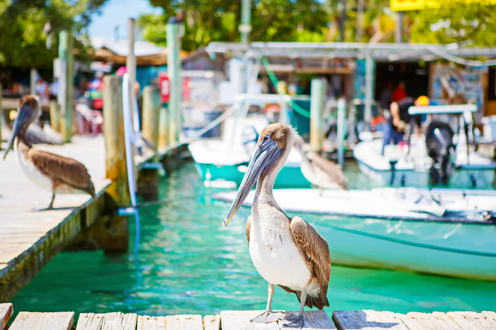 Big brown pelicans in port of Islamorada, Florida Keys. Waiting for fish at Robbie's Marina. The Florida Keys are among the best places to go in Florida and one of the cool places to visit in Florida for all tourists.