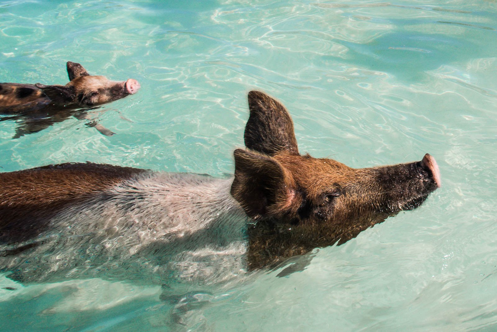 Taking a Bahamas day trip is among the most relaxing things to do in Orlando Florida. See the Bahamas swimming pigs and return to Orlando the same night.