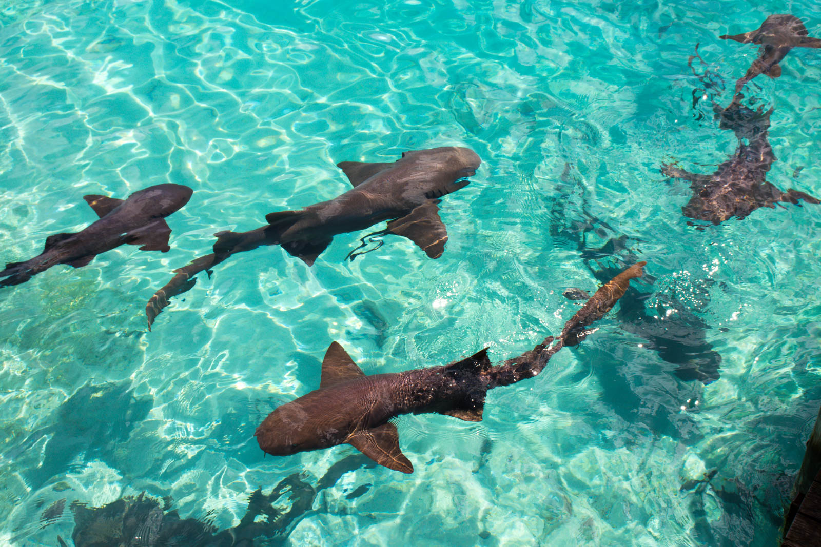 The Compass Cay sharks are a welcome addition to any day trip to Bahamas from Fort Lauderdale. See the Compass Cay Marina on any day cruise to Bahamas from Fort Lauderdale.