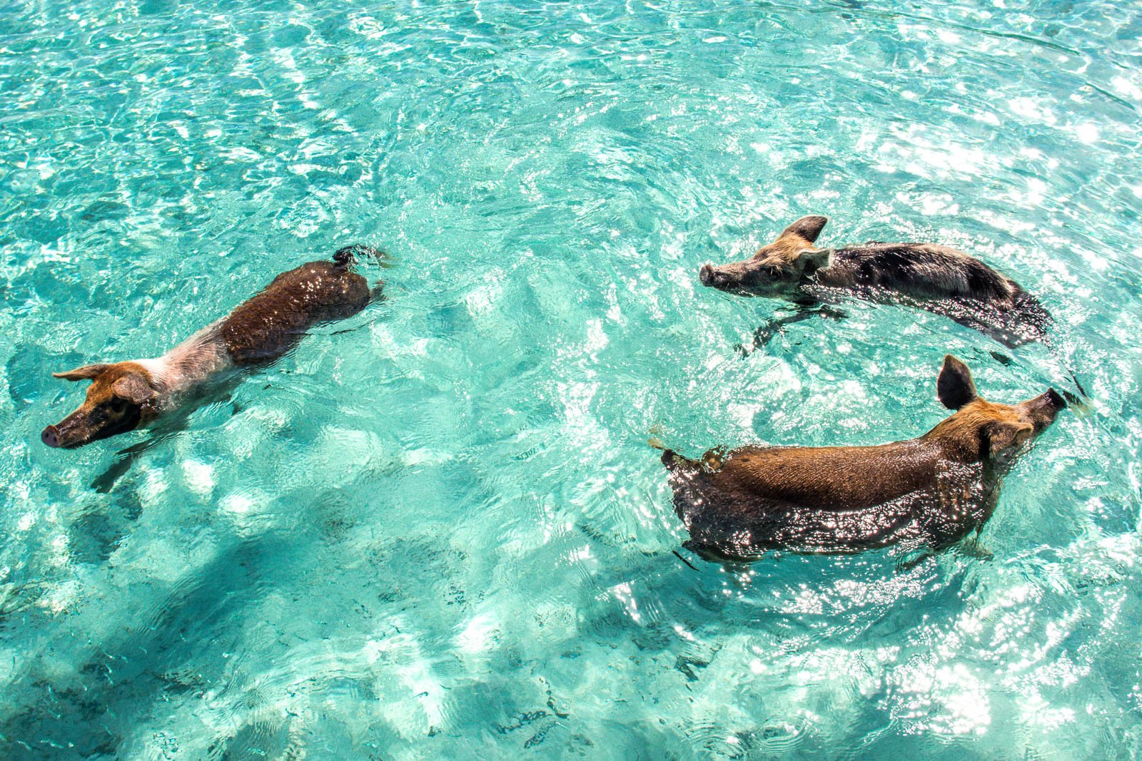 A day trip to Bahamas from Miami to see the island with pigs is very popular. The Boat from Miami to Bahamas isn't the best option for this excursion.