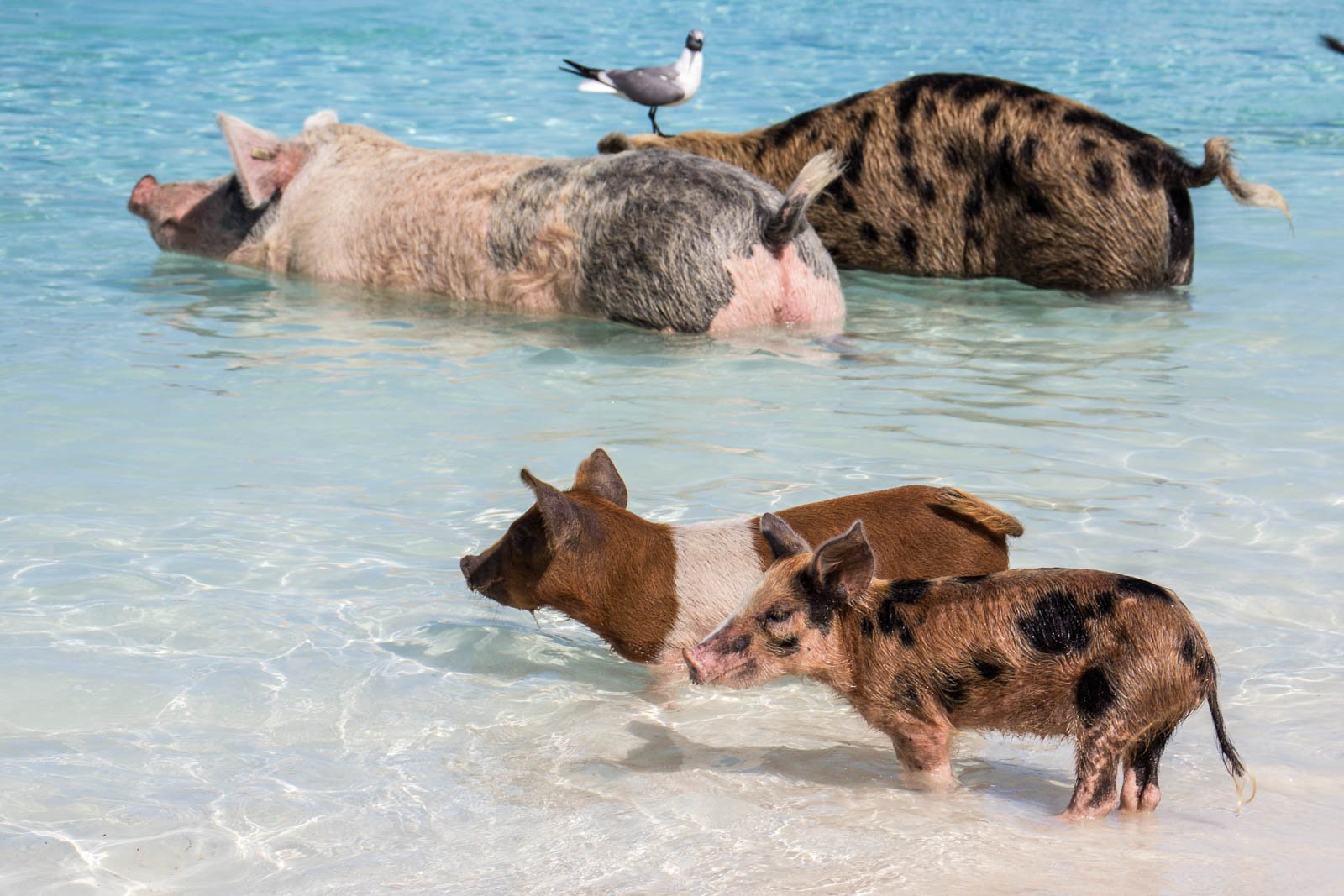 A day trip to Bahamas from Miami to see the Exuma pigs. Your one day trip to Bahamas will likely include a stop at Pig Island's Pig Beach.