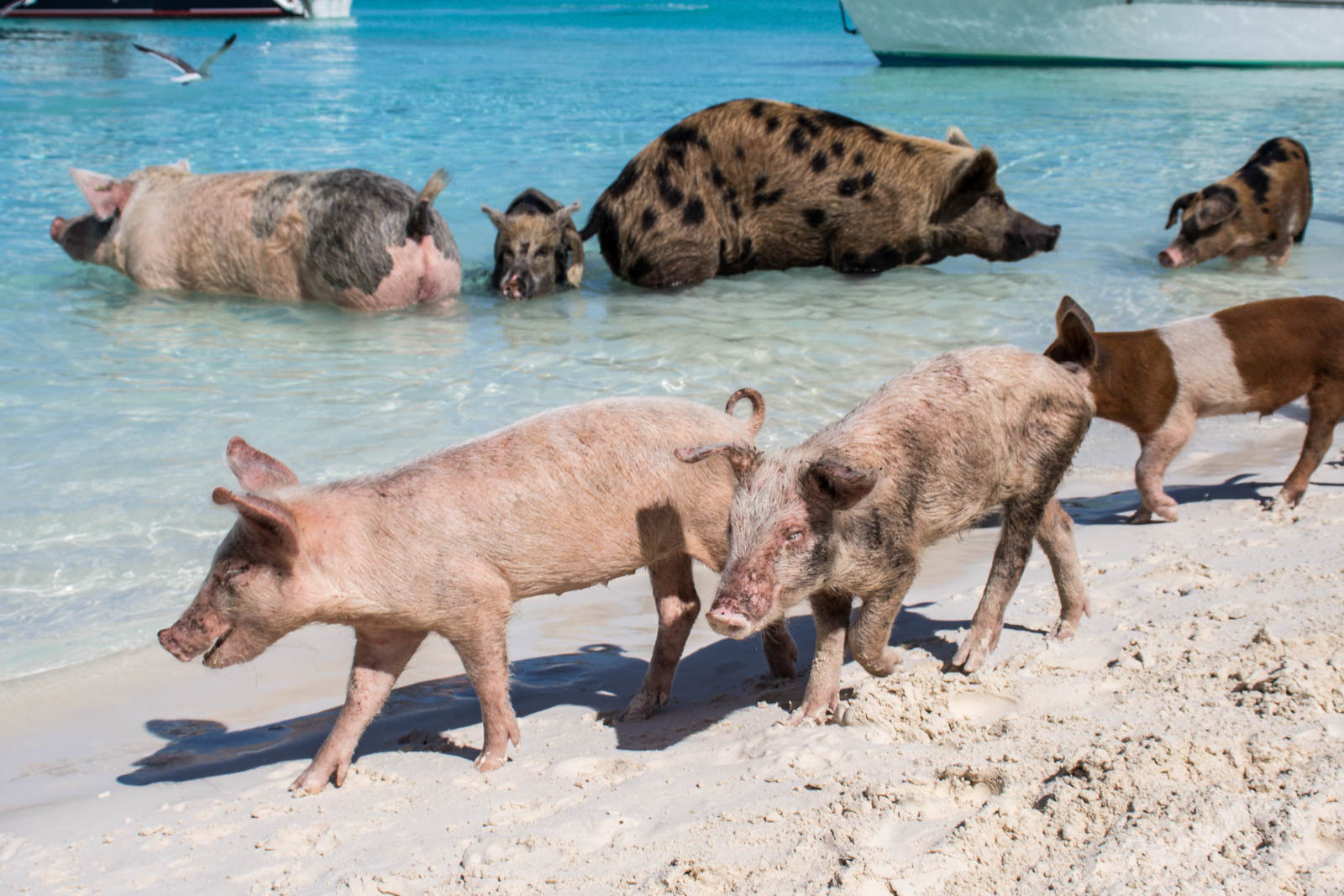 Day trips to Bahamas swimming pigs are popular Nassau Bahamas shore excursions for cruisers. Nassau tours to Pig Beach are popular with groups and couples.