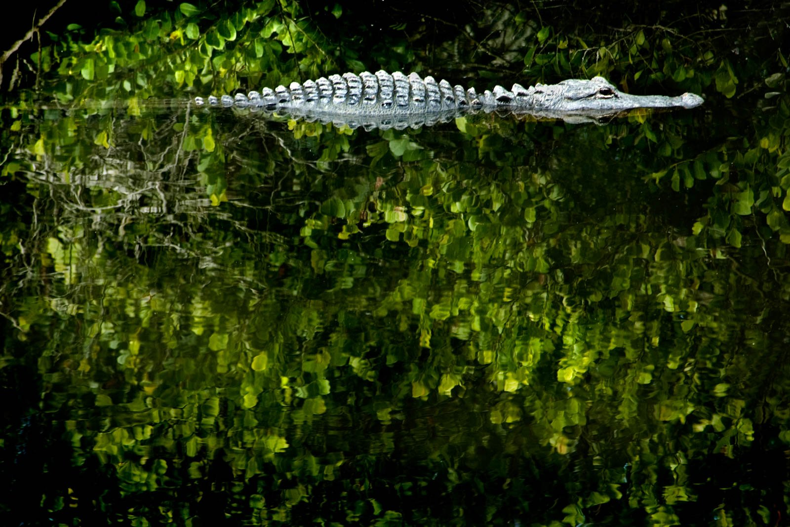 Alligator Lurking in the dark waters of Everglades Natonal Park. A one day trip to bahamas and many day trips from Miami are run through south Florida.