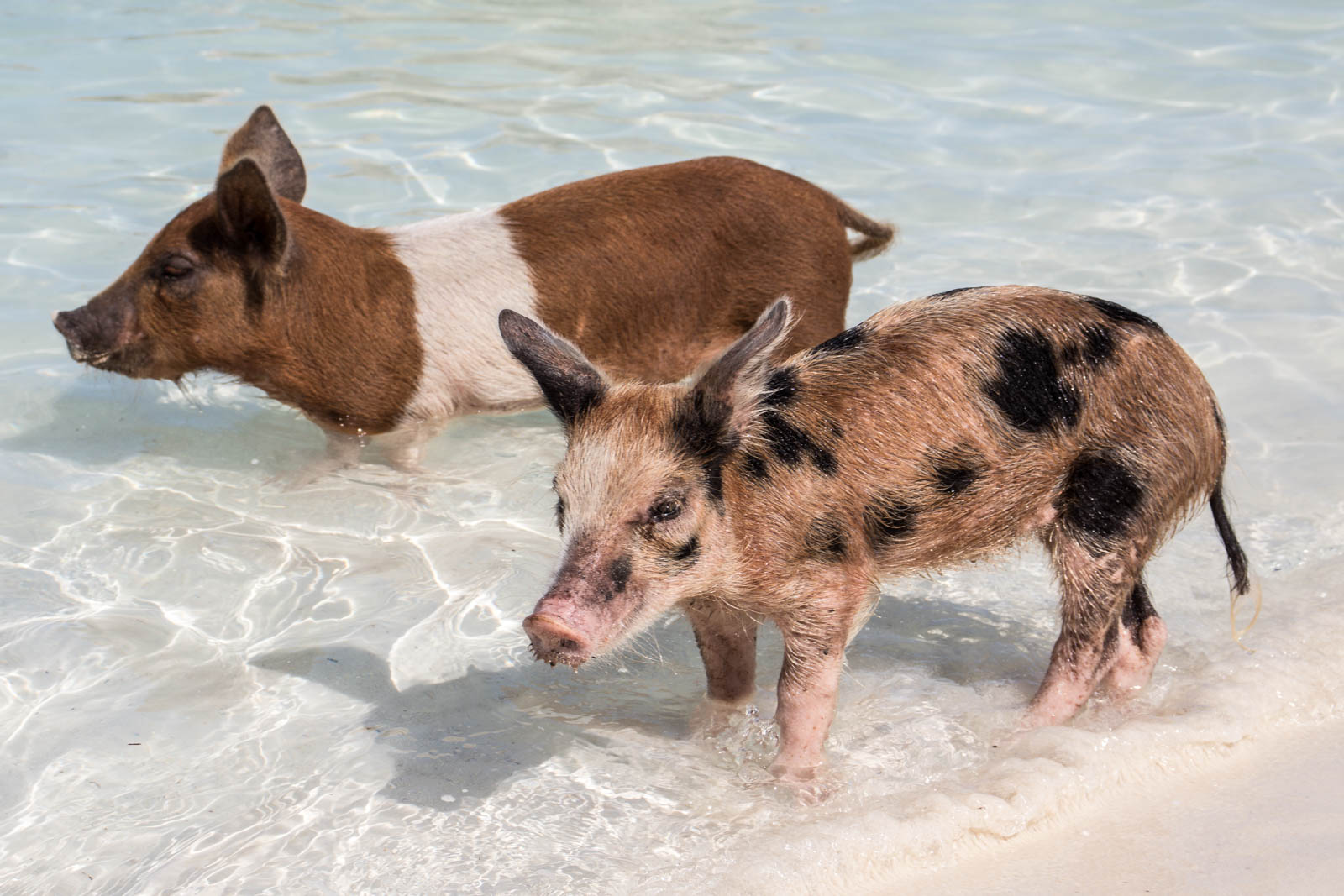 The Exuma pigs love the attention! Swimming pigs Exuma tours are usually busy, so arrive early. Book a swimming pigs bahamas tour today!
