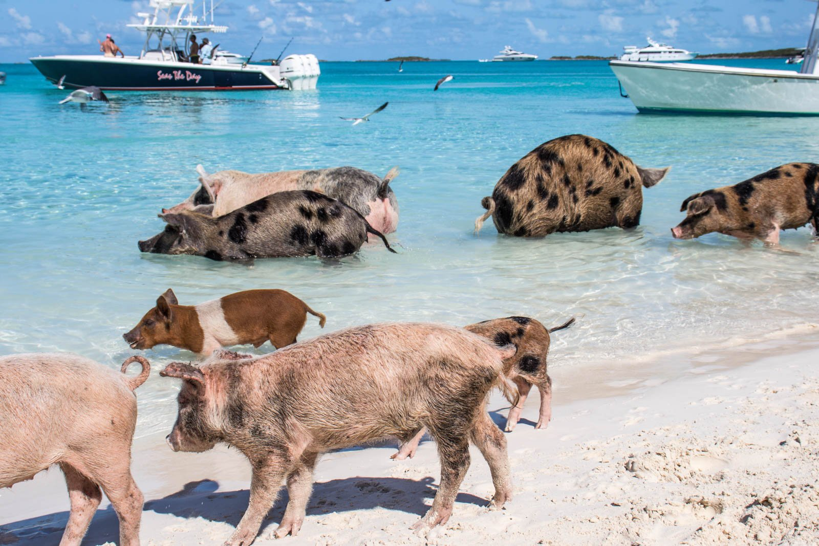 Here at Pig Beach Bahamas, life moves slower and the views are better. Take an Exuma Pig Beach day tour to go swimming with pigs.