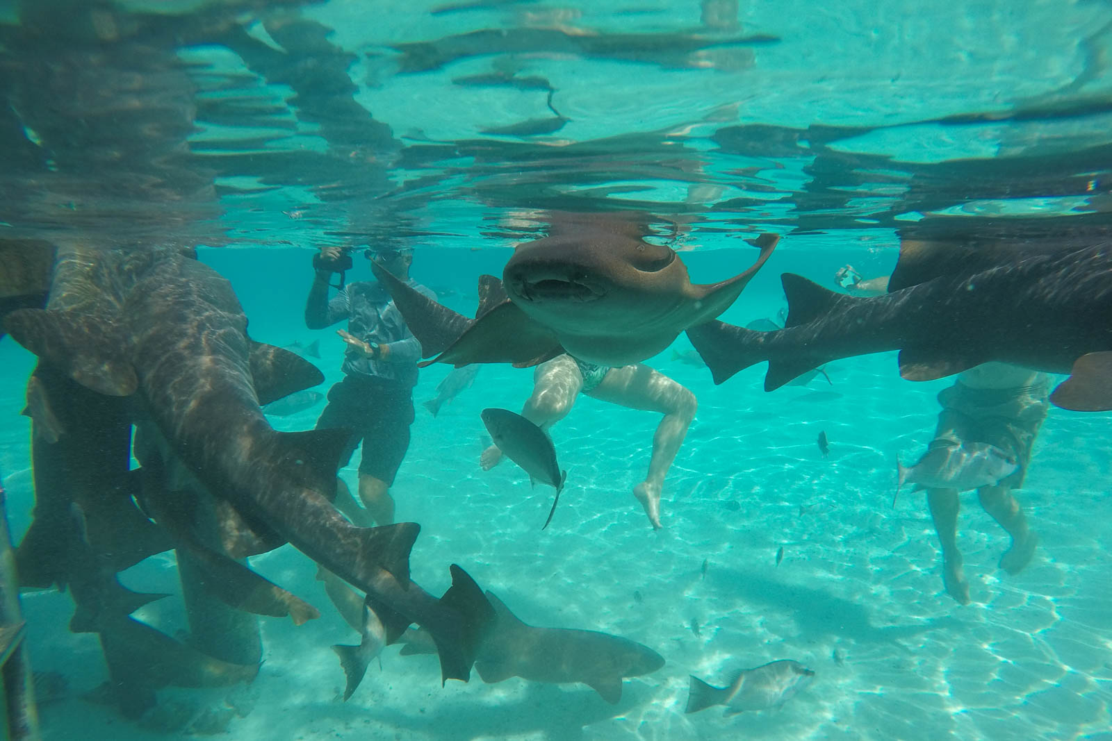 The Compass Cay Marina is filled with nurse sharks Bahamas. Go swimming with sharks bahamas vacation attractions !