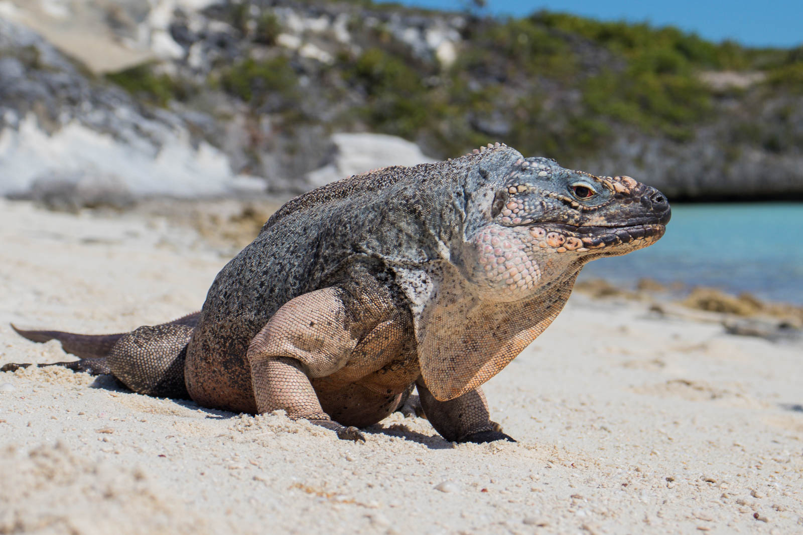 Your trips to Bahamas from Fort Lauderdale can take you to see endangered iguanas. See Bitter Guana Cay on your Fort Lauderdale Bahamas day trip!