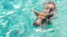 Bahamas swimming pigs are the most popular attraction of a swimming pigs Exuma tour. Visit Pig Beach Bahamas from anywhere.