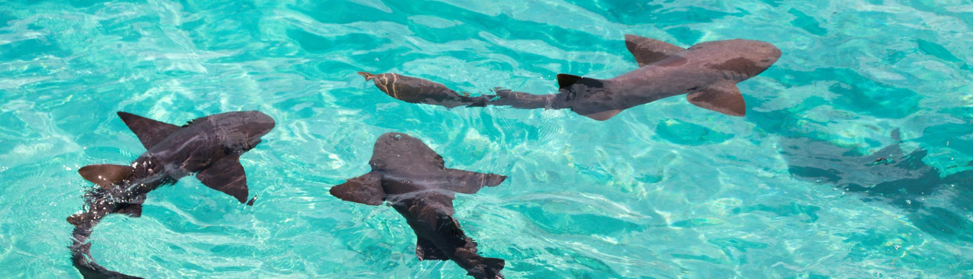 The Compass Cay sharks swarm the marina. Jump in to swim with nurse sharks Bahamas and go swimming with sharks Bahamas on a thrilling adventure.
